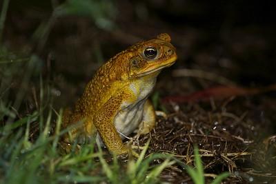 Cane toad, Rhinella marina
