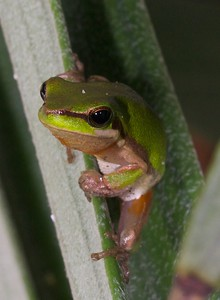 Eastern sedge frog
