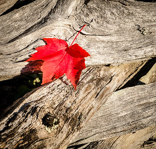 Red Maple Leaf on Weathered Wood