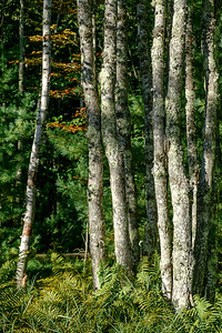 Birch Stand with Autumn Ferns