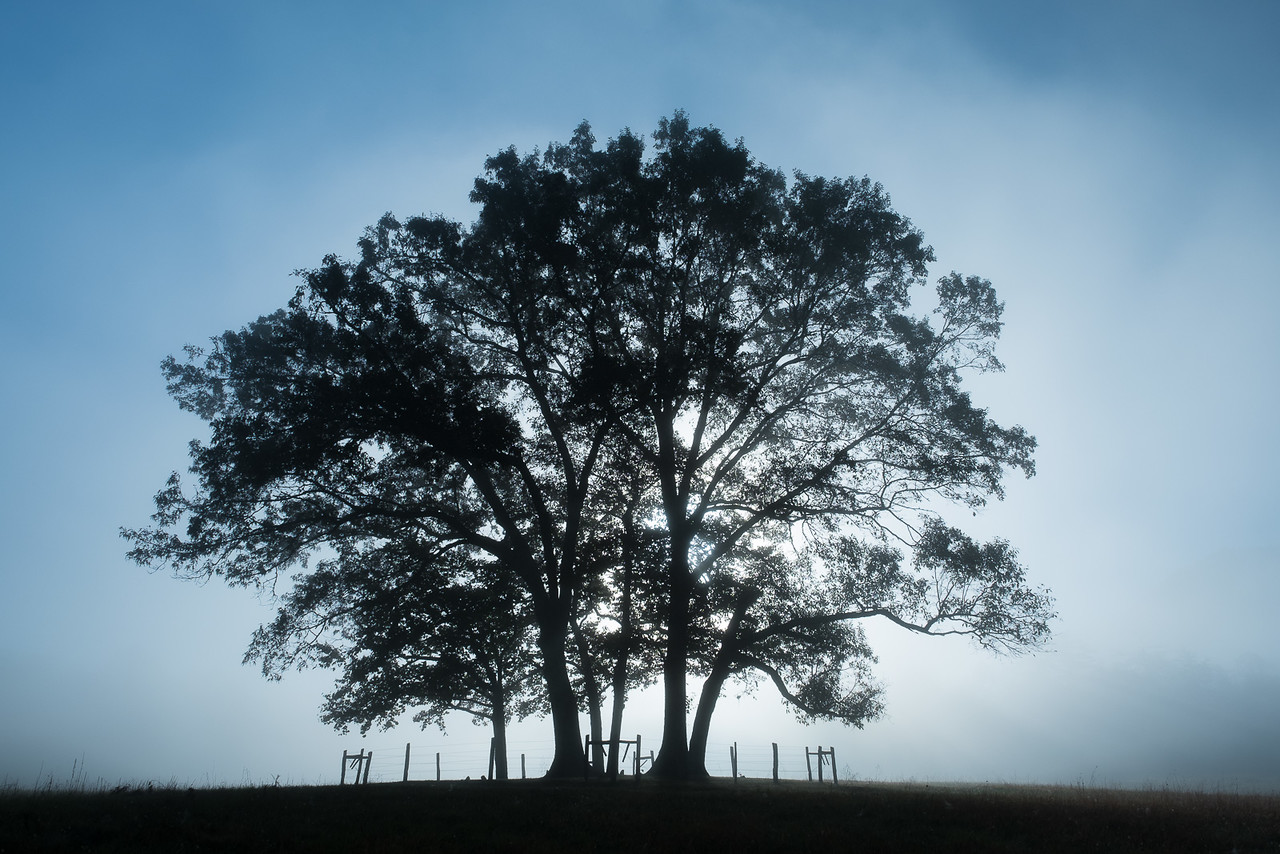 Lone Tree Backlit By Early Morning Fog