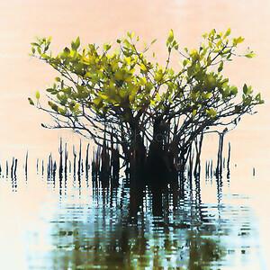 Mystery Mangrove