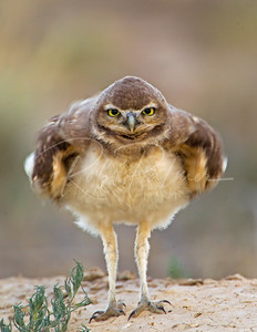 OWL ON STEROIDS