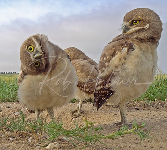 Curious Burrowing Owlets
