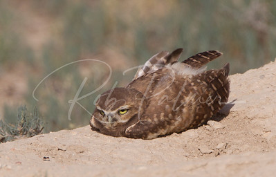 Young Burrowing Owl observing an Ant! 7642