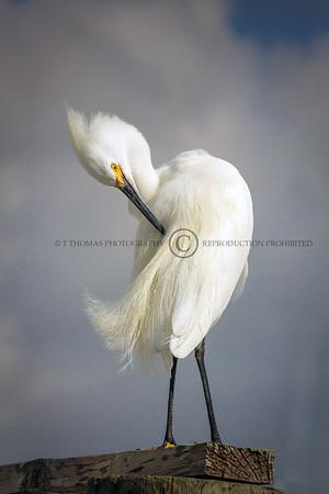 Snowy Egret - Marco Island Florida