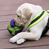 Kassie paw over paw with new toy - August 5, 2016