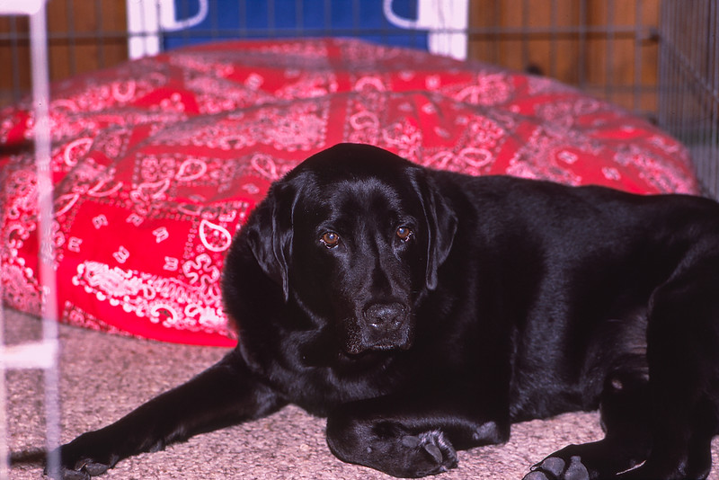 Mickey refused to lie on his big bed - 2000