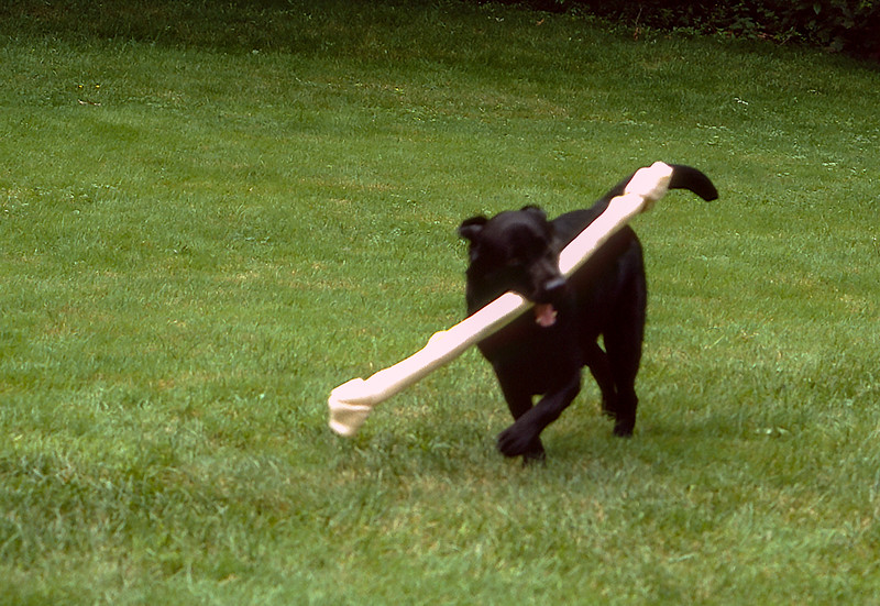 Running for joy with his new bone!