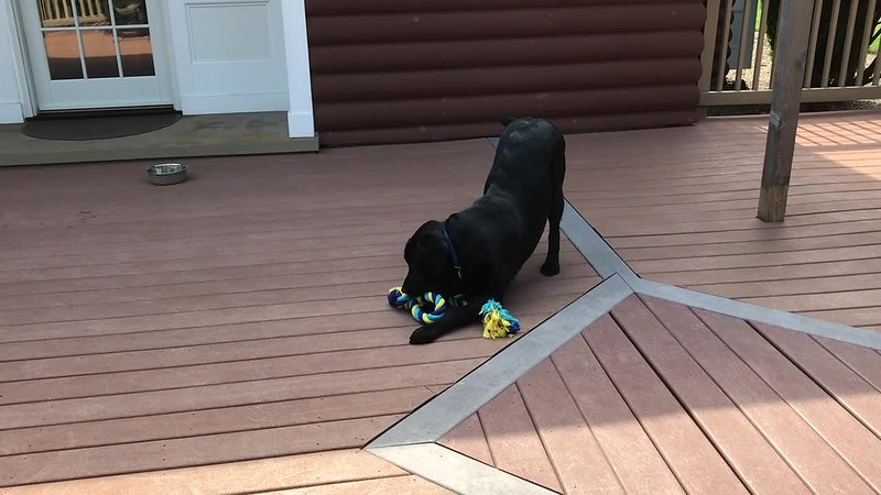 Pilot shows his joy & fun with his new Tug Toy  Fun - August 7, 2018