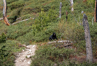 Black Bear hopping into bushes off trail