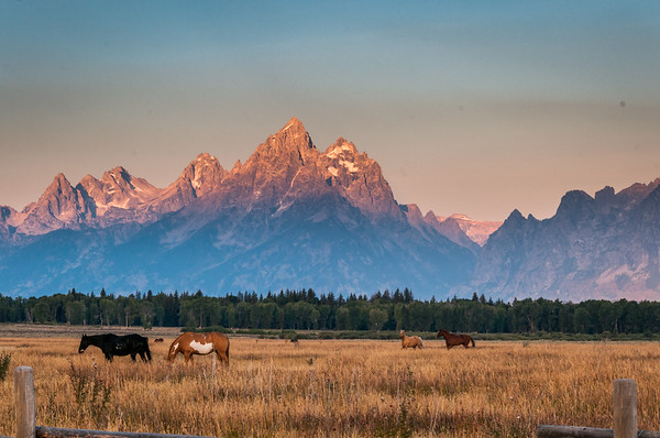 Grand Teton Sunrise Horses