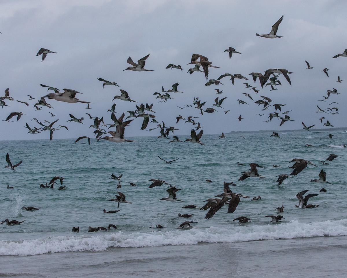 Blue-footed Boobies Feeding Frenzy - Galapagos