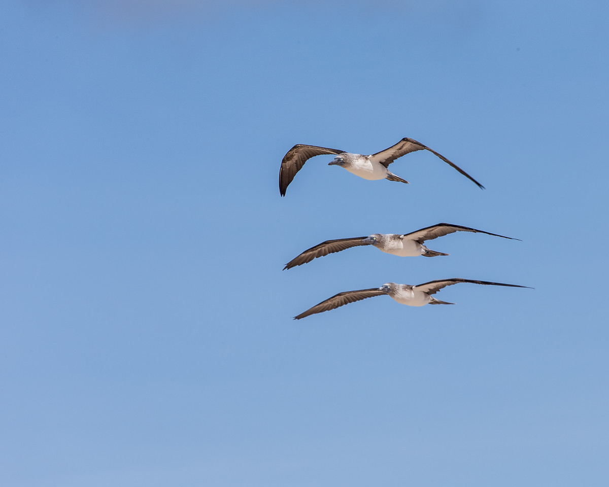 Blue-footed Boobies in Flight - Galapagos