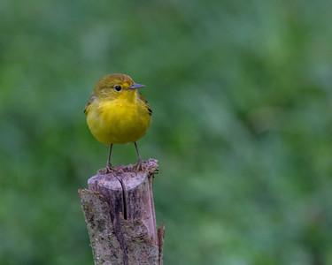 Yellow Warbler - Galapagos