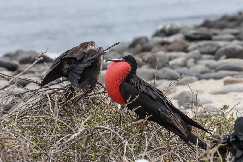 Frigate Bird Displaying - Galapagos