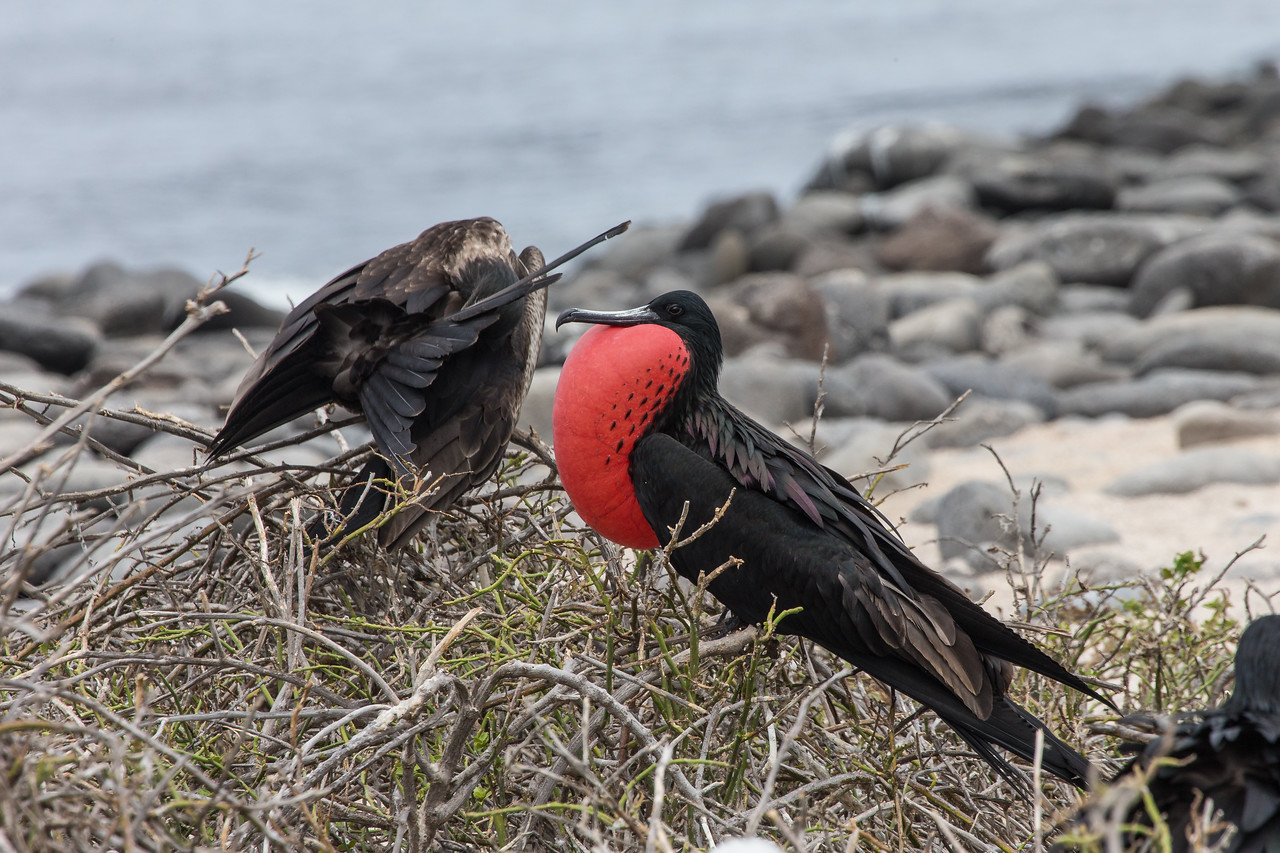 Frigate Bird Displaying - Galapagos