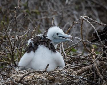 Frigate Bird Chick - Galapagos
