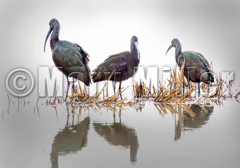 Three Glossy Ibis