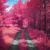 Magenta Tree Tunnel and Winding Dirt Road in Boxford Massachusetts