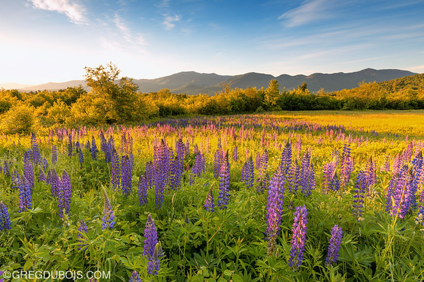 Sugar Hill New Hampshire Lupines and White Mountains with Golden Sunrise Light