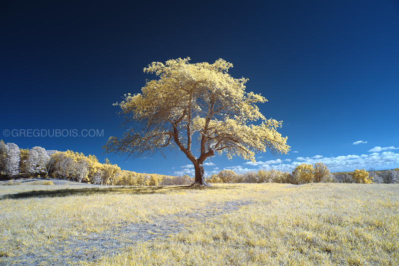 Old Lonely Tree on Hill during Fall in Andover Massachusetts with 590nm Infrared