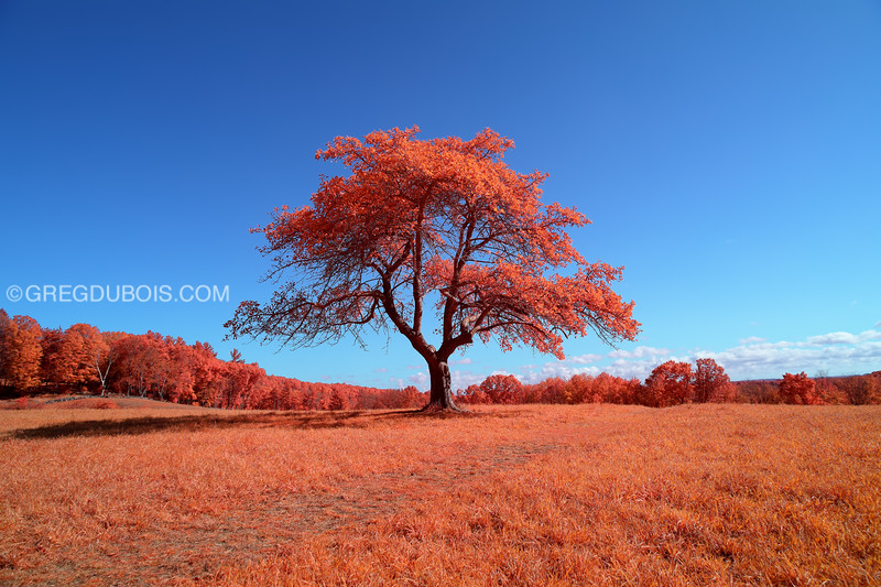 Old Lonely Tree on Hill during Fall in Andover Massachusetts with Kodak Aerochrome
