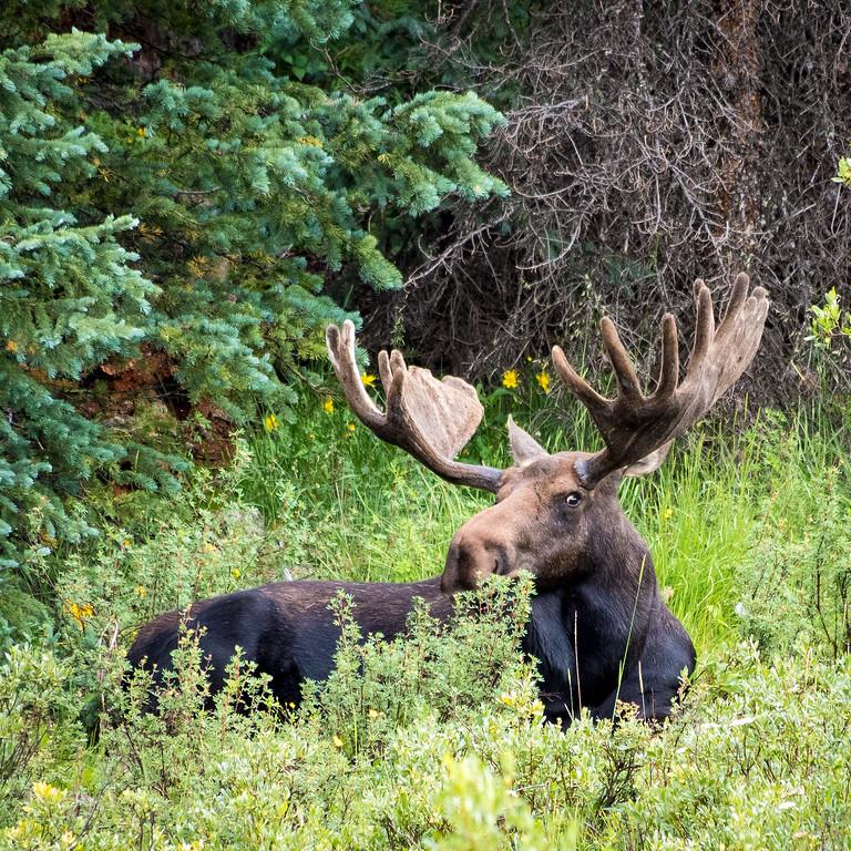 Mufasa, bull moose