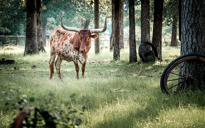 Longhorn and Wheels