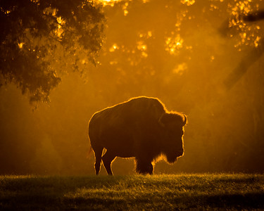 American Buffalo at Sunset