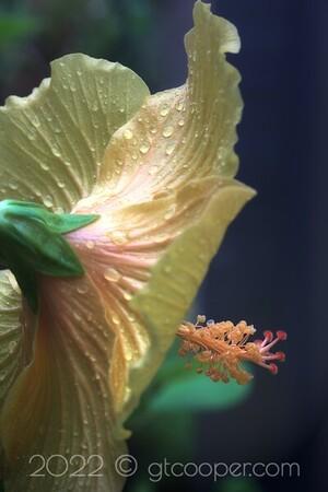 Hibiscus - Yellow