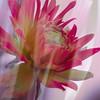 Dahlia - Color Blend