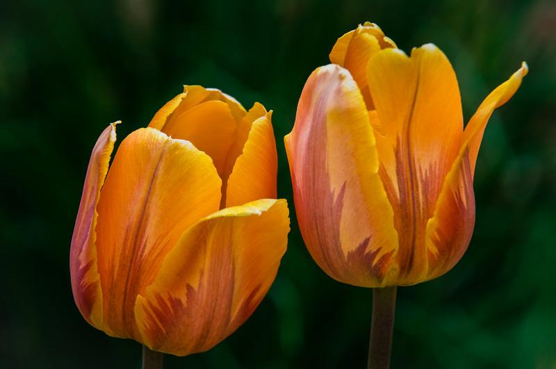 Tulips (variety unknown) near cutting garden birdbath - home garden, West Rutland, Vermont, USA