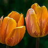 Tulips (variety unknown) near cutting garden birdbath - home garden, West Rutland, Vermont, USA