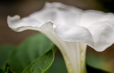 """Datura meteloides """"Belle Blanche"""" blossom in a West Rutland, VT garden."""