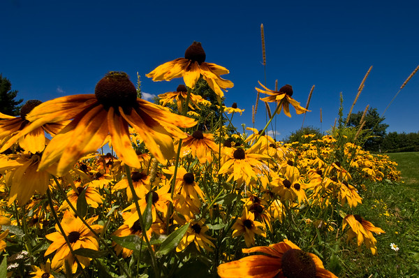Rudbeckia planted at I89 rest area in central Vermont (Brookfield?)