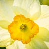 The sun backlights a daffodil blooming in a West Rutland, Vt., garden.