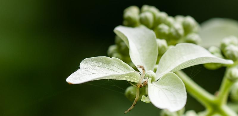 Hydranga paniculata 'Great Star' in bloom in a West Rutland, VT garden.