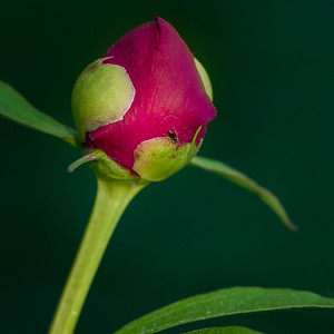 Peony flower buds in a West Rutland, Vermont garden. June 1, 2018.