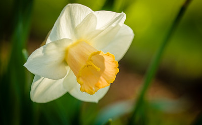 A daffodil blooming in a West Rutland, Vt., garden.