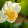 A daffodil blooming in a West Rutland, Vt., garden.
