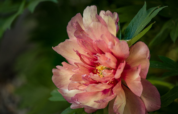 Peony 'Hillary', an herbacious and tree peony hybrid, in bloom in a West Rutland, Vermont garden. June 13, 2018.
