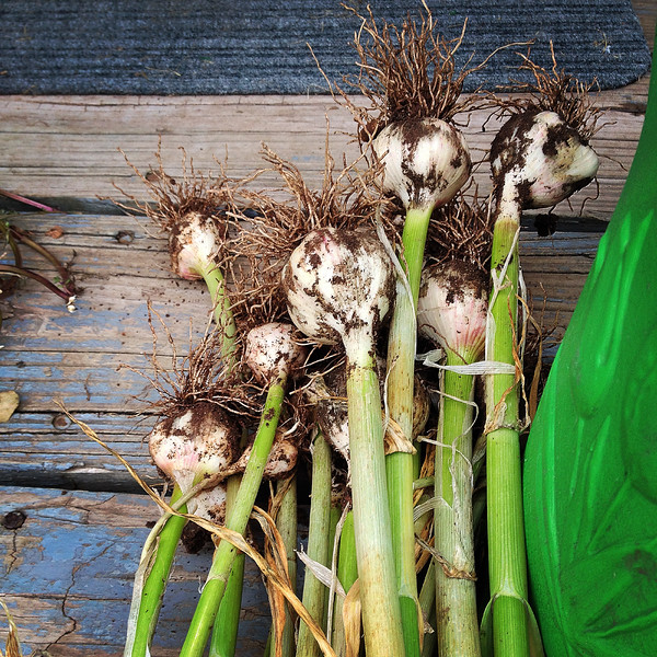 Garlic - Pre Drying