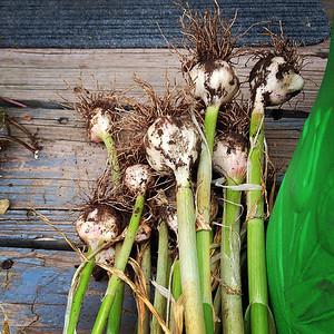 Garlic - Pre Drying