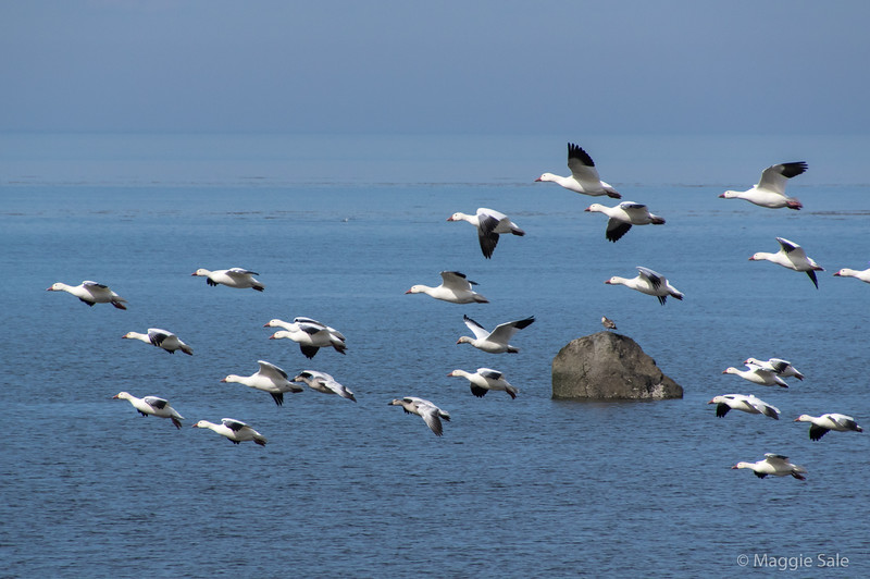 Snow geese flying near St-Ulrich