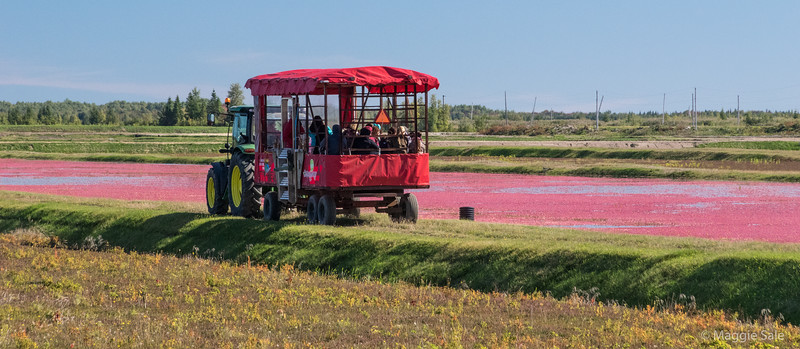 Cranberry harvest at the largest cranberry farm in Canada, near Victoriaville
