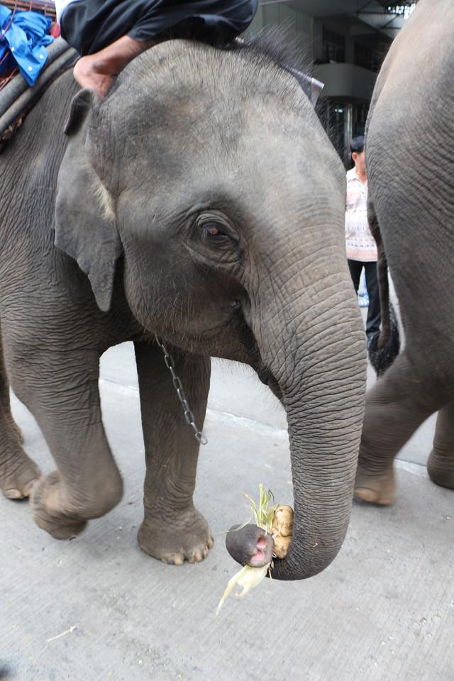 2014-11-14 Surin Elephant Welcome Feast 267
