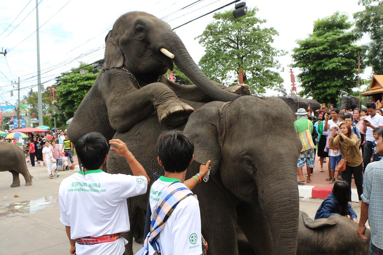 2014-11-14 Surin Elephant Welcome Feast 671