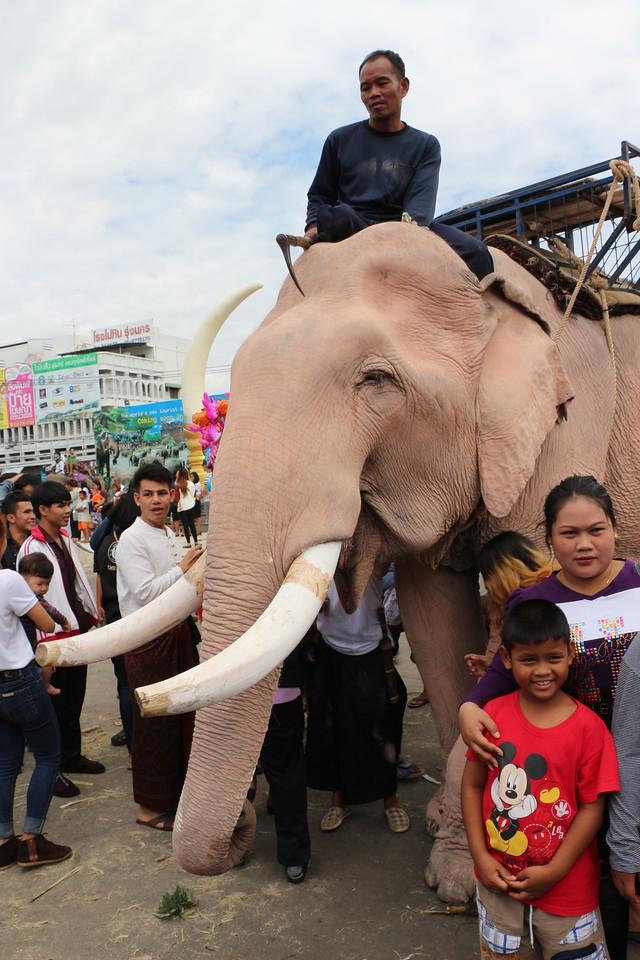 2014-11-14 Surin Elephant Welcome Feast 625