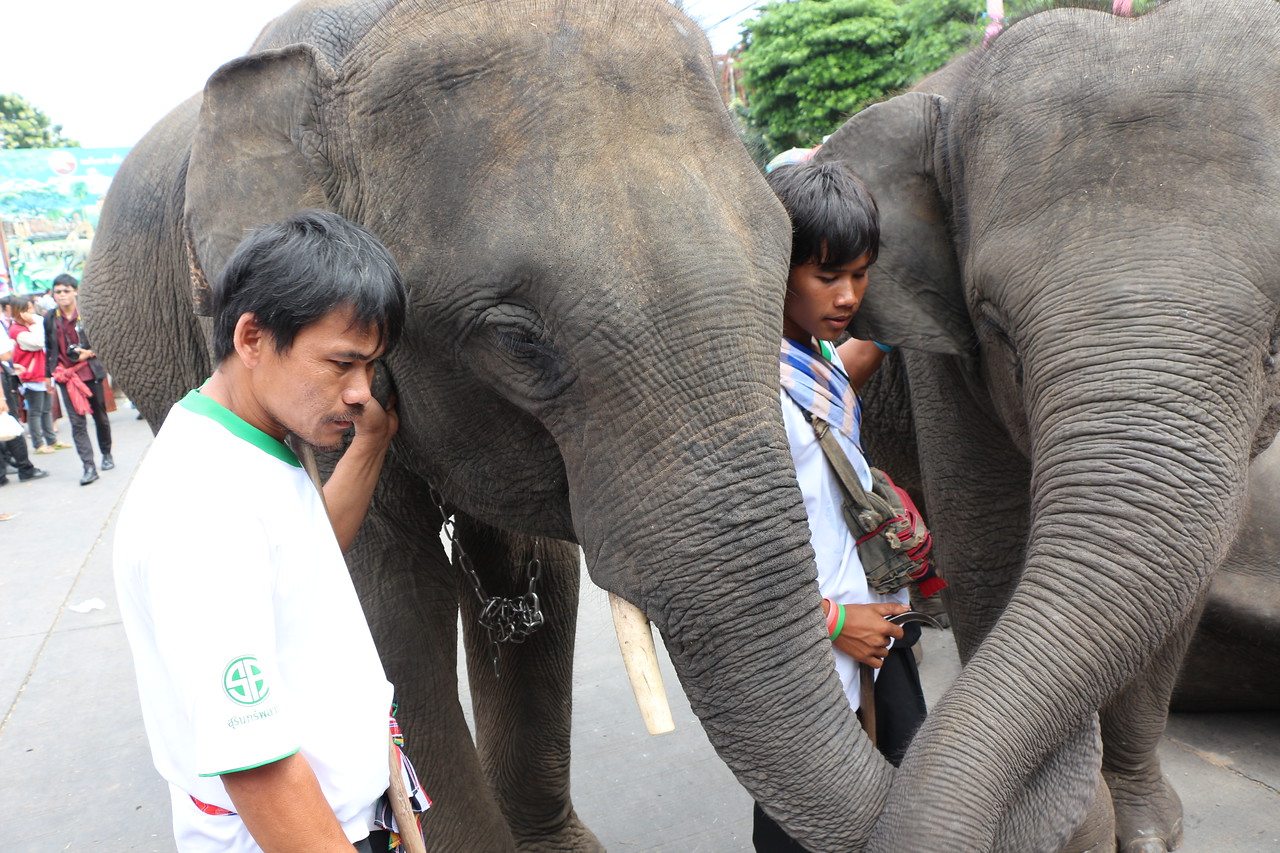 2014-11-14 Surin Elephant Welcome Feast 717